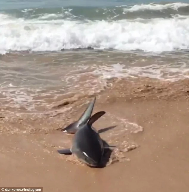 Swimmers forced to flee from water after deadly great white shark washed up on shore near pool