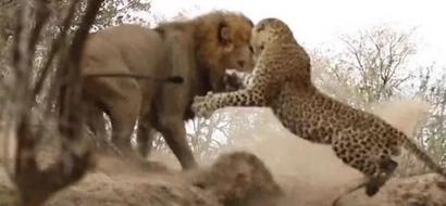 Lion Stalks & Attacks Leopard In Breathtakingly Epic Battle (Video)