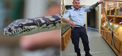 2-meter long jungle python addicted to METH sent to prison rehab to fight his drug addiction (photos, video)