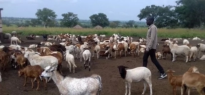 How 5 Ugandan brothers turned goat farming into a million-dollar business