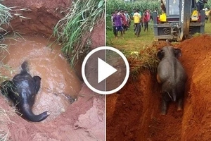 Baby elephant was rescued thanks to his mother trumpeting for help