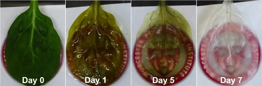 Groundbreaking! Scientists transform SPINACH leaf into working human HEART