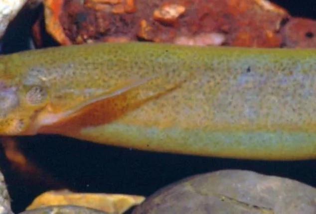 Nueva especie fue hallada en un río colombiano. ¡Conócela!