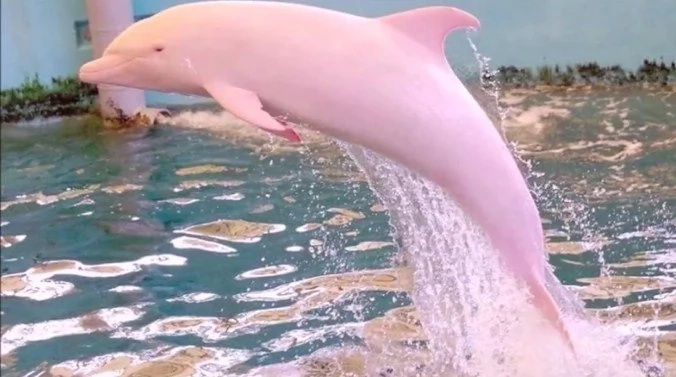 Louisiana Boaters Capture Pink Dolphin Swimming In Waters And That's Wonderful (Video)