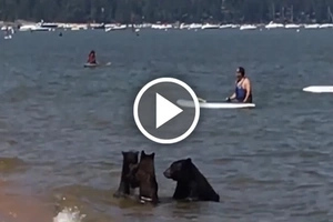 Mother bear swims in the lake with her cubs among unsuspecting people. See what happens next