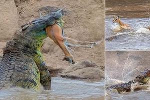 Massive 4.8-meter crocodile captures gazelle before ripping it in HALF along Kenya's Mara River (photos)