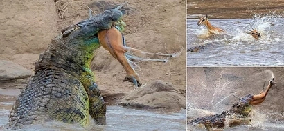 Massive 4.8-meter crocodile captures gazelle before ripping it in HALF along Kenya's Mara River (photos)