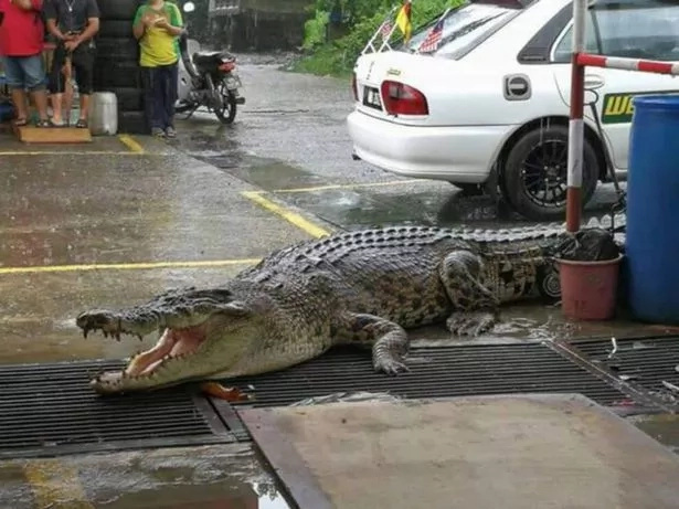 Brave firefighter rescues a 4.8 meter crocodile that wandered into tyre shop in the middle of town