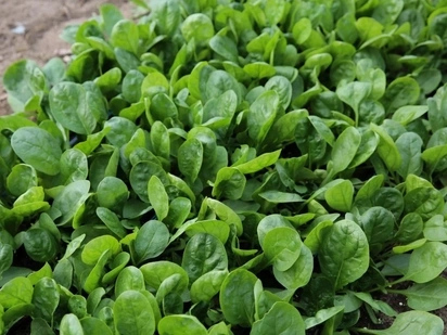 Spinach Farming in Kenya: Essential Tips for the Beginner