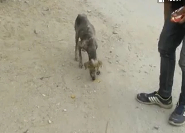 Rescuers Lure Stray Dog With Treats, Then They See The Severe Blisters On Her Skin