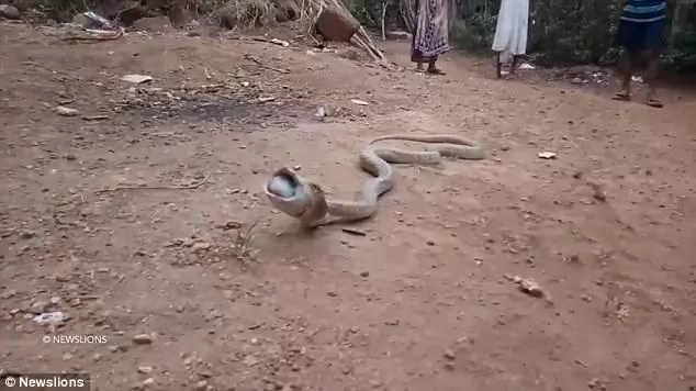 Snake swallows soda bottle whole after its attempts to squeeze and eat it fails badly