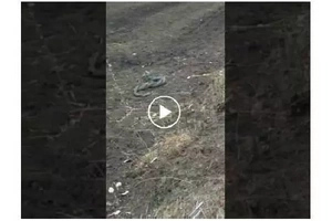Do Snakes engage in wrestlemania? Watch the rare moment.