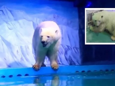 En China exhiben un oso polar en el mercado