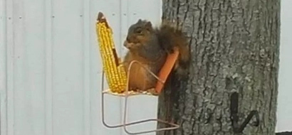 This squirrel has its own tree chair, where it chills out and eats corn