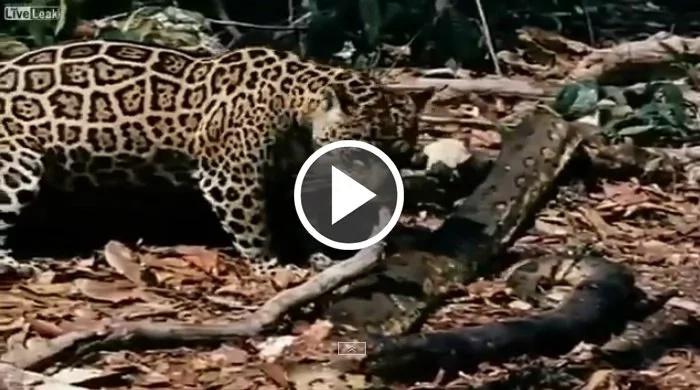 Mira la insólita pelea entre estos dos gatos salvajes y una anaconda