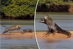 Footage of jaguar taking on giant crocodile has emerged, you wouldn't believe who ate the other (Photos)
