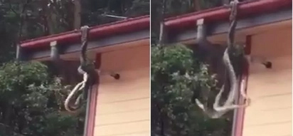 Two giant pythons are fighting for dominance on the roof of this family's house!
