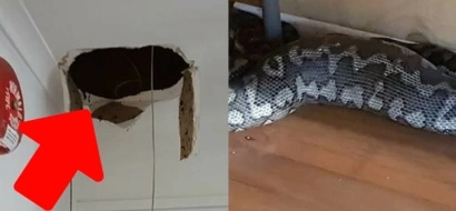 Panic as 2.5m PYTHON falls through the roof of a gym after swallowing possum (photos)