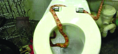 This 6-foot snake was finally caught after 3 months of hiding