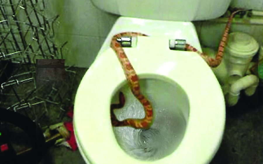 6-foot snake finally caught after 3 months of first appearance