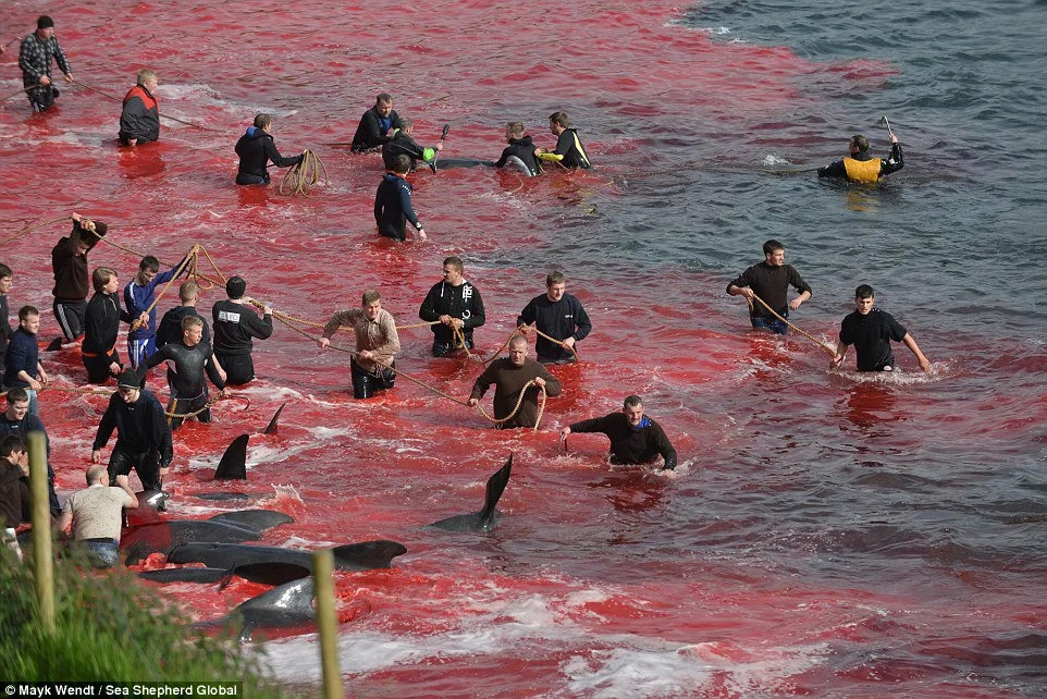 120 whales slaughtered in Faroe Islands this week as part of celeb