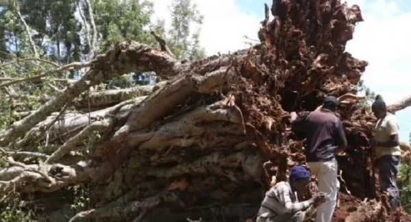 Another Mugumo tree falls and KIKUYUS REALLY PANIC