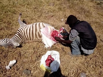 Man in Naivasha captured butchering a zebra and packing its meat ready for sale (photos)