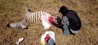 Disturbing photos of Naivasha man butchering a zebra and packing its meat in bags