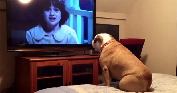 Bulldog gets scared watching horror movie