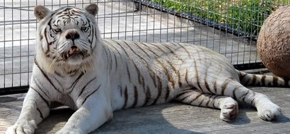 Say hello to Kenny, the inbred white tiger with down syndrome