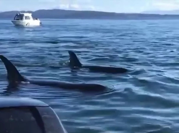 Smart seal saves himself from 12 hungry killer whales jumping onto a tour boat