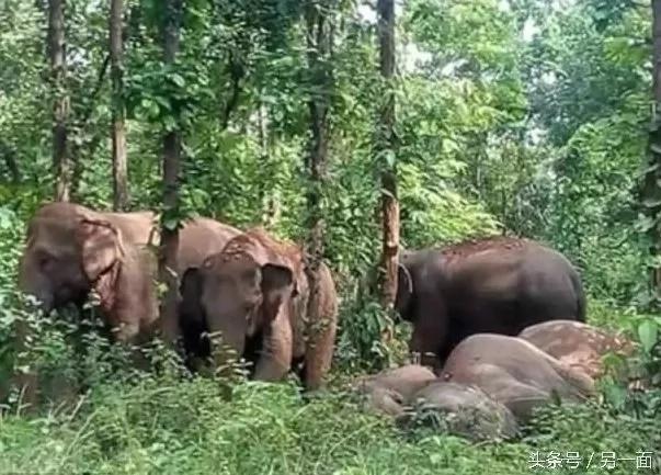 Bebé elefante es rescatado gracias al llamado de su madre
