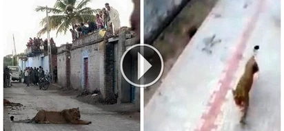 TERRIFYING: These villagers had to take cover on their rooftop as dangerous lion goes on a rampage (PHOTOS)