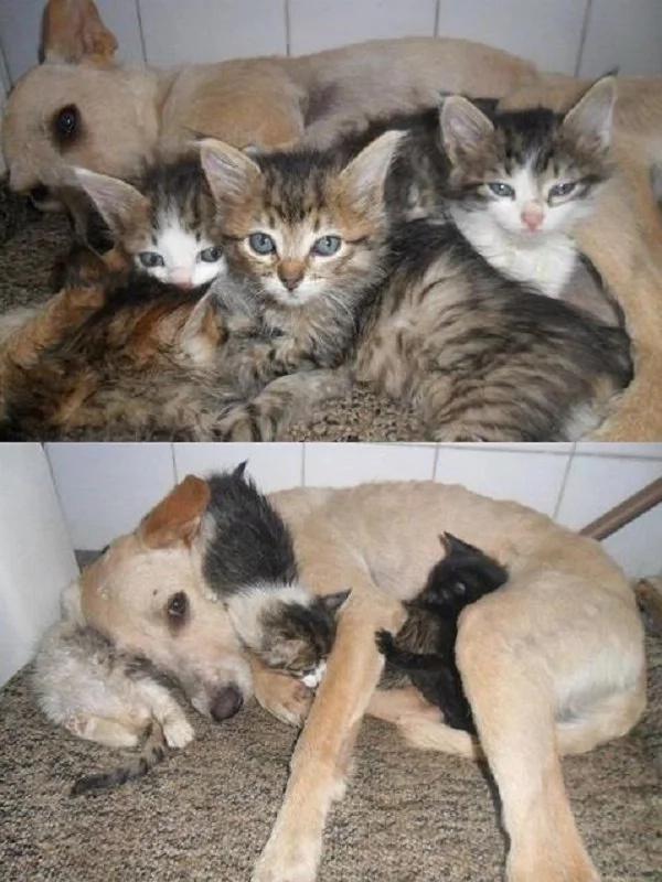 Cuando estos gatitos perdieron a su mamá, ellos no podrían sobrevivir. Pero cuando veas a su rescatador, no podrás aguantar las lágrimas.
