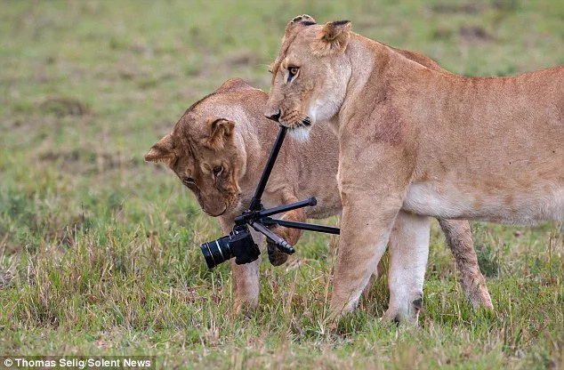 KWS speaks after loose lioness is spotted at the Southern Bypass
