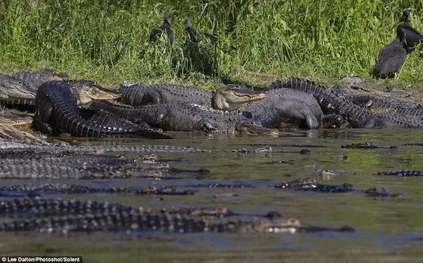 See extraordinary gathering of HUNDREDS of crocodiles basking in the sun (photos)