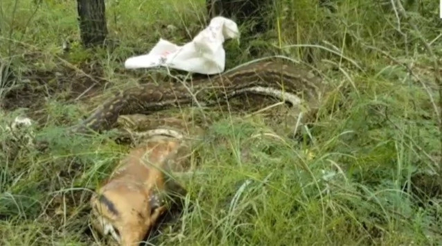 Huge python swallows adult deer whole then immediately regrets it (photos, video)