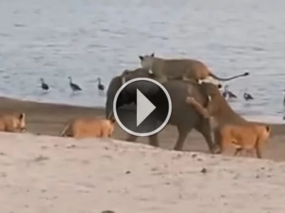 UNBELIEVABLE: This elephant survives attack by 14 lions through sheer determination