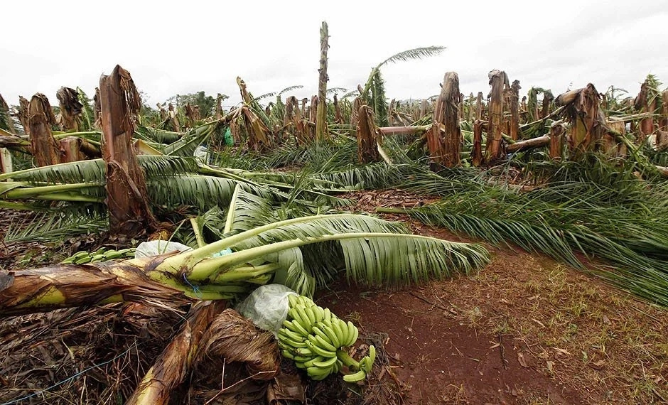 Farmers in fear after mysterious 'sprirt' creature destroys banana trees