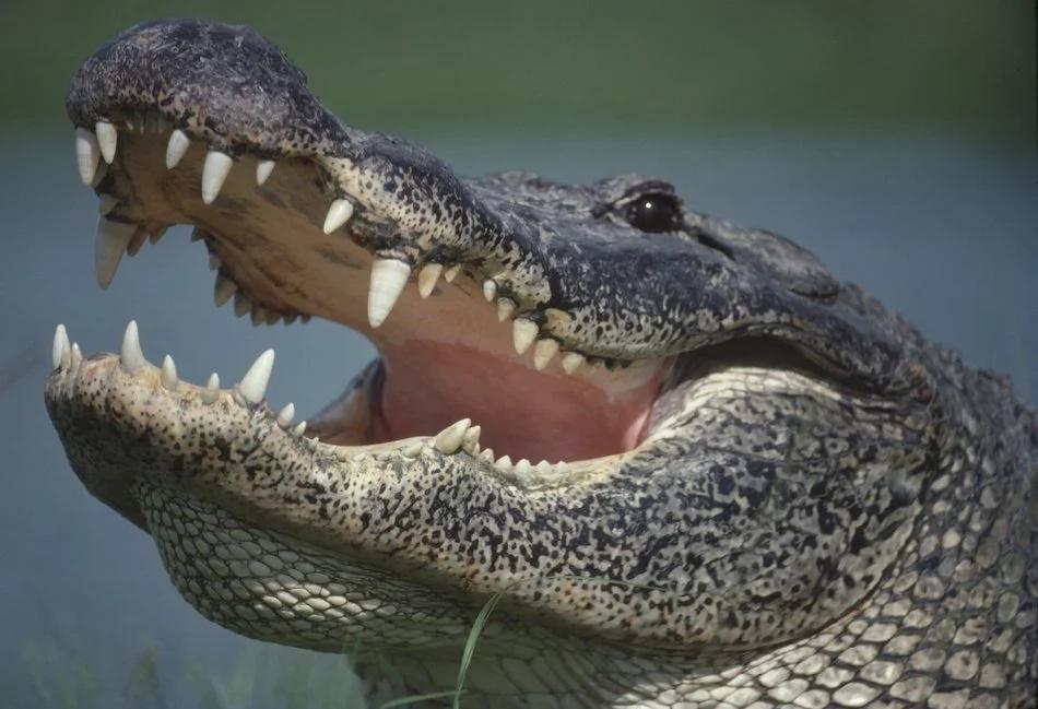 Alligator on top of tree shocks man
