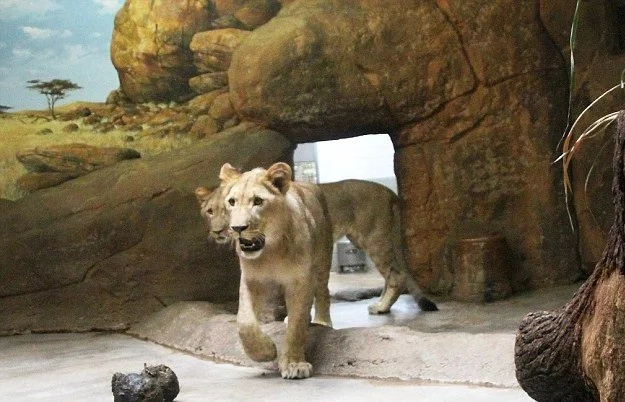 Leones escapan de jaula en un zoológico de Alemania