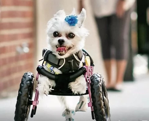 Dogs using wheels to move owns the road and our hearts