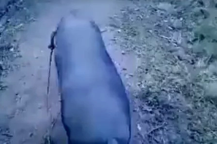 Pig caught walking like a runway superstar
