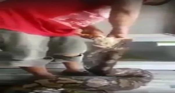 python-feeding