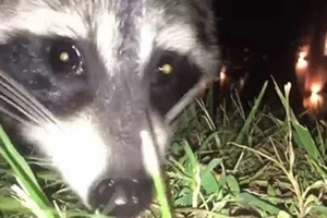 Thieving Raccoon Ran off with Man's IPhone & Filmed EVERYTHING