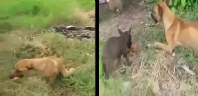 Injured mother dog brings food to her puppy