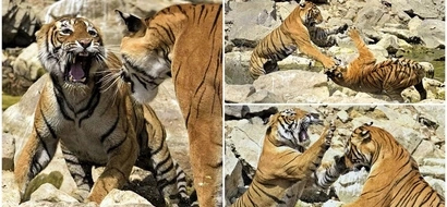 Cat fight! 2 female tigers engage in MASSIVE brawl over watering hole (photos)