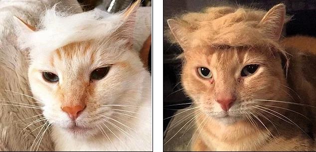 La gente viste a sus gatos como Donald Trump - el nuevo Presidente de USA