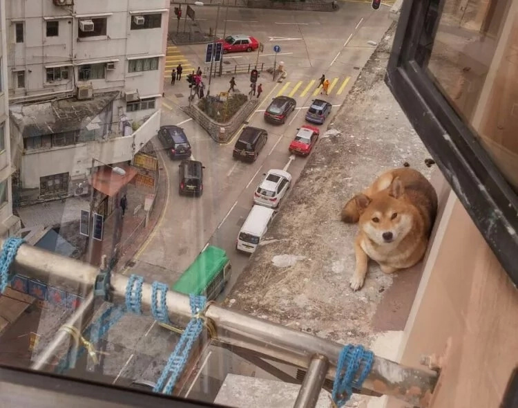 This Shiba Inu was found trapped on the 10th floor. Rescuers attempts their special dog rescue!