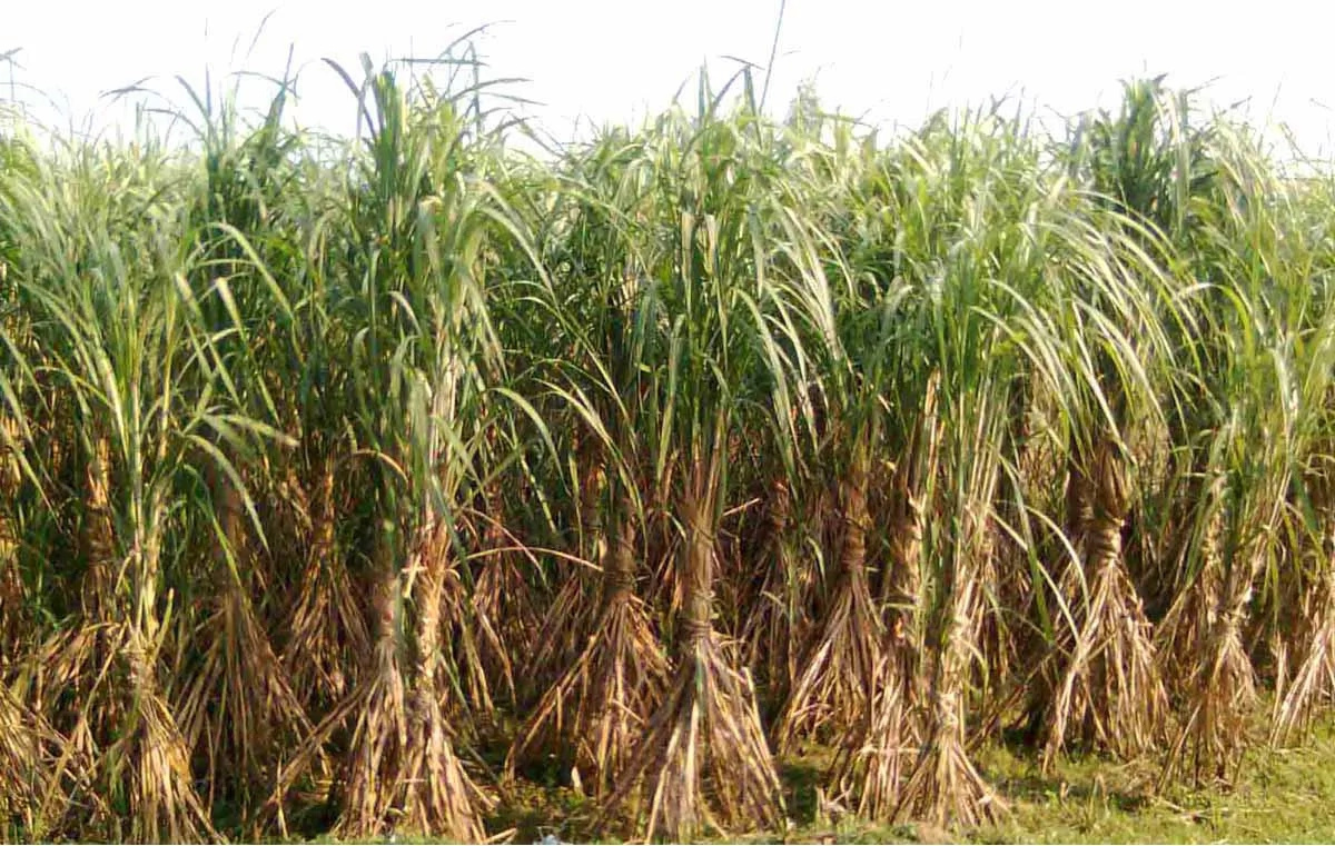 WANTED: Sugarcane Farmers